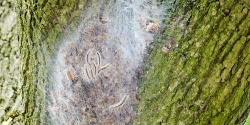 Eichenprozessionsspinner - Baumbefall